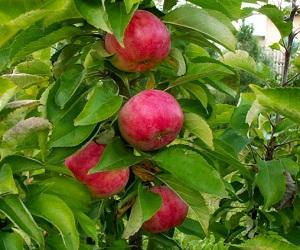 Яблоня Васюган: описание сорта