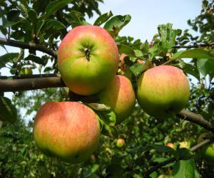 Сорт яблони Орловим